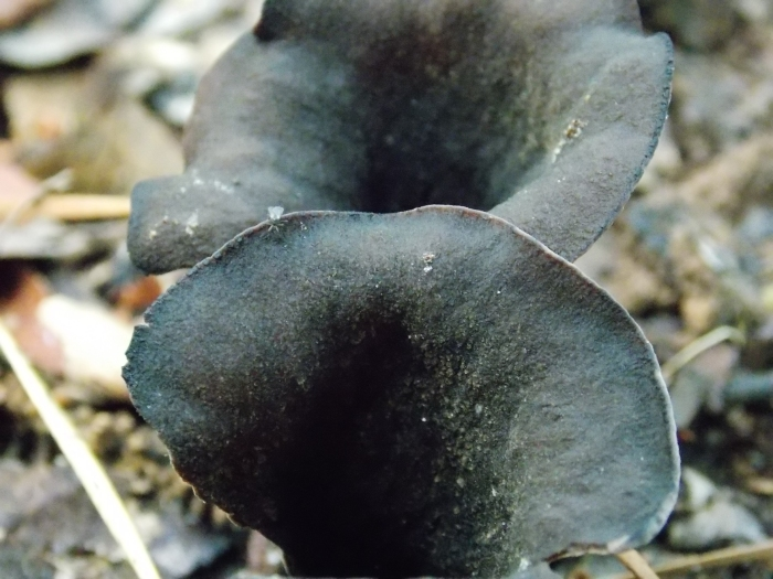 Horn of Plenty Black Trumpet.JPG