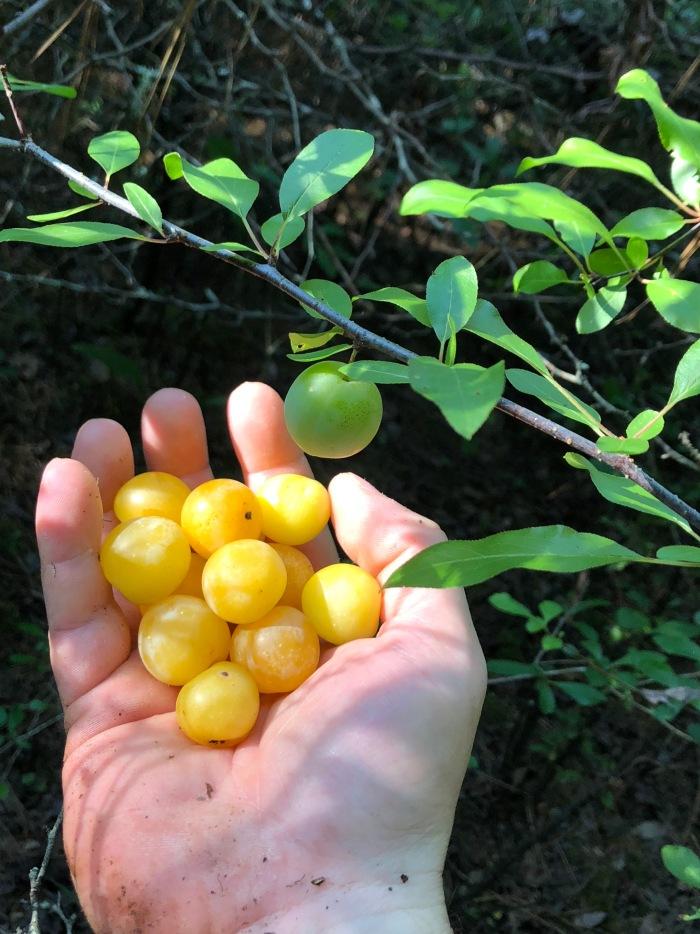 Wild Yellow Plum