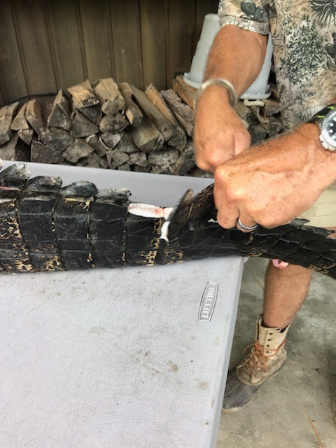 Skinning Gator Tail.jpg